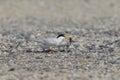 Little tern nesting sterna albifrons in japan Stock Images