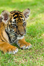 Little tiger Royalty Free Stock Photo