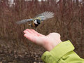 Little tit flies up to hand on forest background Royalty Free Stock Photography