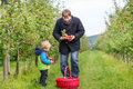 Little toddler boy of two years picking red apples in an orchard adorable and his father Stock Photo