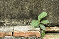 A little tree on old wall growing up Royalty Free Stock Photography