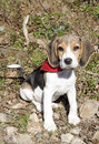 Little tricolor beagle sitting rocks background use Stock Images