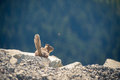 Little watchful chipmunk sitting on the brink of the rock with forest on background Stock Images
