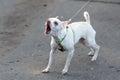 Poco blanco yip perro en correa