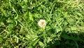 Little white clover flower