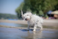 Little white dog shaking off water Royalty Free Stock Photo