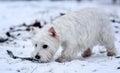 Little White Dog Terrier