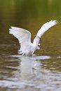 Little white egret hunting for food Stock Images