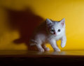 Little white fluffy kitten sneaks up on yellow background Royalty Free Stock Photo