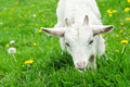 Little white goat Stock Images