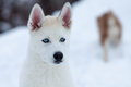 Little white husky with blue eyes, close up Stock Photography