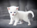 Little white kitten with beautiful blue eyes Stock Photo
