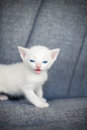 Little white kitten posing over gry bacgraund Stock Photo