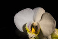 Little white orchid an with black background Stock Photos