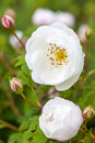 Little white roses in the summer garden Stock Photography