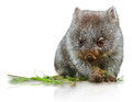 Little wombat female months isolated on white background family of mammal marsupial herbivore that lives in australia in Stock Images