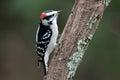 Little Woodpecker Royalty Free Stock Photo