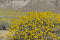 Little yellow Brittlebush blossom Royalty Free Stock Photo