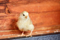 Little yellow chick in the stable Royalty Free Stock Photo