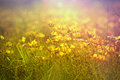 Little yellow flowers meadow and grass Royalty Free Stock Photos