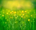 Little yellow flowers in a meadow in spring Royalty Free Stock Photos