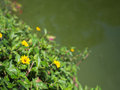 Little Yellow Star Flower Bloom Royalty Free Stock Photo