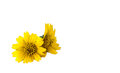 Little yellow star the isolate style picture of that is compositae family flower Stock Photo
