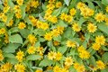 Little Yellow Star or Melampodium divaricatum flower. Royalty Free Stock Photo