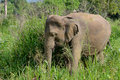 Little Young Elephant In Natur...