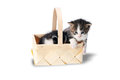 Littles kitten in a wood basket on white background in studio. Royalty Free Stock Photo