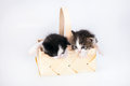 Littles kitten in a wood basket on white background. Royalty Free Stock Photo
