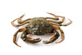 Littoral crab carcinus aestuarii on white isolated Stock Photos