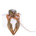 Live animal crawfish isolated on white background Royalty Free Stock Images
