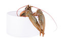 Live animal crawfish isolated on white background Stock Photography
