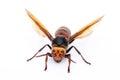 Live big hornet on white background Stock Image