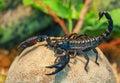 Live black scorpion emperor Stock Image