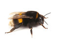 Live bumblebee Royalty Free Stock Photo