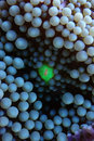 Live caribbean blue and green coral close-up macro Stock Photo