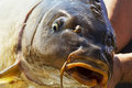 Live carp fish head close up Stock Images