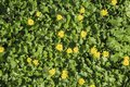 Live carpet of green leaves and yellow spring pilewort