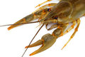 Live crayfish in close-up Royalty Free Stock Photography