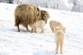 Live on farm by winter mother sheep breast feeding her little lamb maternal instinct Stock Image