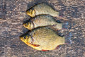 Live freshwater fish carp Stock Images