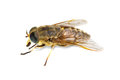 Live horsefly ower background Stock Photos