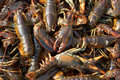 Live Lobsters Background Royalty Free Stock Photo