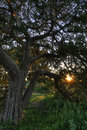 Live Oak at Sunset Stock Photos