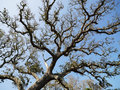 Live oak tree. Royalty Free Stock Images