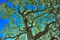 Live Oak Tree Royalty Free Stock Photo