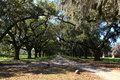 Live oak trees were planted charleston sc Stock Photo
