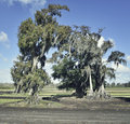 Live oaks and spanish moss against a sky Royalty Free Stock Photography